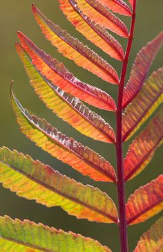 Smooth Sumac - Sumacs can always be counted on to provide great fall color. Even in years when the other plants are dull they will display a red-orange glow. Nature Plants, Red Plants, Leaf Projects, Galaxy Phone Wallpaper, Most Popular Image, Colored Pencil Tutorial, Leaf Art, Garden Inspiration, Autumn Leaves