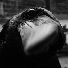 Key Gross: The Inquisitive Raven
