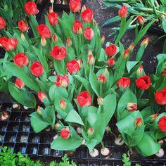 БЛОГИНГ | ПРОДВИЖЕНИЕ БЛОГА в Instagram: «Тюльпано-лук. Чего только не увидишь в Flower Dome?! Ничего особенного не ожидала от этого места, но редкие растения с вкусными запахами…» Vegetables, Plants, Vegetable Recipes, Plant, Veggies, Planets