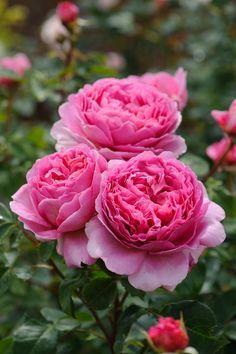 'Princess Alexandra of Kent' | David Austin English Rose