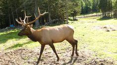 Domestic Elk, Palmer AK Aug 2011