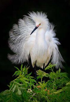 Snowy Egret. Photo by Daniel Cedras. Audubon Magazine, Top 100 Bird Photos of 2010