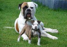 johnsons american bulldog memes - Google Search