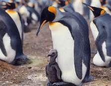 king penguin - Bing Images