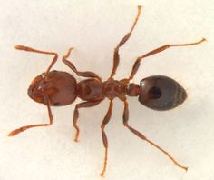 fire ants | Solenopsis invicta . The fire ant. Dead specimen posed with clay ...