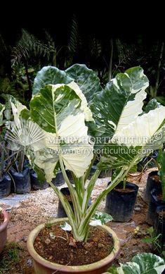 Alocacia M. Shade Garden Plants, Leafy Plants, Rare Plants, Exotic Plants, Plante Alocasia, Alocasia Plant, Sansevieria Plant, Indoor Tropical Plants, Tropical Garden