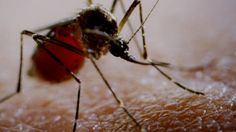 How Mosquitoes Spread Viruses When a mosquito bites a human carrying a virus, the mosquito becomes infected and its saliva now carries the virus. When it bites its next victim, the virus spreads to the next person.