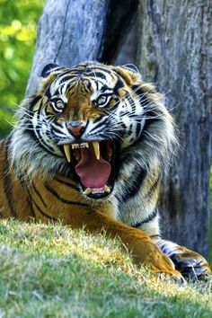 Tiger roar by Wai Kei Chu.how did Tarzan do it? I would literally die instantly of a heart attack Big Cats, Cool Cats, Beautiful Cats, Animals Beautiful, Animals And Pets, Cute Animals, Wild Animals, Baby Animals, Tiger Attack