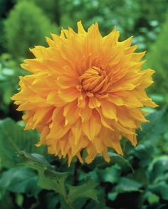 Dahlia 'Hamari Gold' • Plants & Flowers • 99Roots.com
