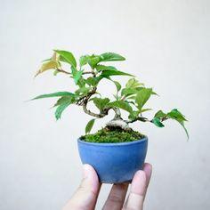 【ギフト】【あす楽対応】盆栽専門店生産直販小品盆栽ミニ盆栽十月桜
