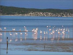 Check out the beautiful flamingos at the West Coast National Park near Cape Town!