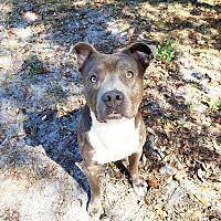 Umatilla Florida American Staffordshire Terrier Meet Devin A