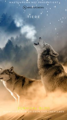 Home - Save gray wolf Artwork Lobo, Wolf Artwork, Beautiful Wolves, Animals Beautiful, Cute Animals, Wolf Photos, Wolf Pictures, Wolf Love, Stars Night