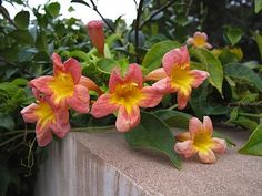 Crossvine- With large trumpet flowers, this vine spreads rapidly and sends up root suckers