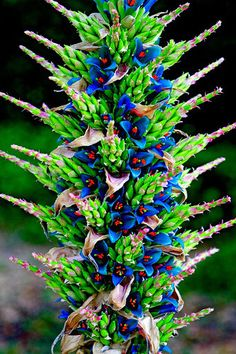Cheap rare flowers, Buy Quality seeds flowers directly from China flower flower Suppliers: Puya Berteroniana Alpestris Sapphire Tower Seeds Amazing Flowers RARE !