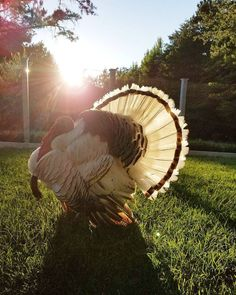 Our turkey, Popeye in the evening light. #turkey #farmanimals #poultry #royalpalmturkey #farm