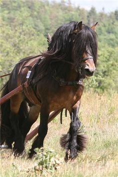 North Swedish Horse, Nordsvensk