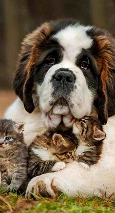 Bernard dog and kittens..
