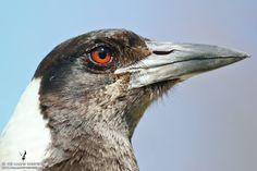 Mrs.Greedy the Australian magpie @ www.themagpiewhisperer.com #magpies #magpie #australianmagpie #themagpiewhisperer #Australia #Australianbirds #wildlife #birds #funnybirds #funnyanimals #crazybirdlady #nature #birdphotos #birdphotography #70d #wildlifephotography