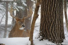 Whitetail buck bedded in snow