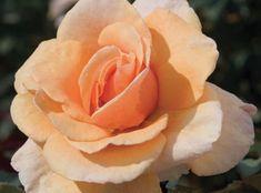 The Brandy™ Rose | Star Roses & Plants
