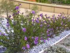 Alyogyne huegelii aka Australian native hibiscus