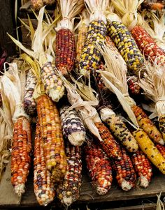 Photo about Colorful Indian holiday corn waiting for a conucopia or other holiday decoration. Image of dried, healthy, corn - 25683064 New Crafts, Holiday Crafts, Holiday Fun, Holiday Decor, Holiday Ideas, Christmas Events, Holidays And Events, Holiday Wishes, Christmas Wishes