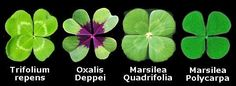 White Clover, Trifolium repens, (left)  is considered to be the source of the genuine Original Shamrock. The fourth leaf is usually smaller than the others. There are about 10,000 three leaf clovers for every four leaf clover, so count yourself very lucky if you find one.  fourleafclover.com
