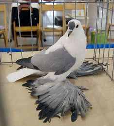 Pigeon Cage, Pigeon Bird, Fantail Pigeon, Cute Pigeon, Pigeon Pictures, Pigeon Breeds, Homing Pigeons, Pigeon Loft, Chicken Bird