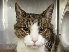 MUSIC  - A1125077 - - Manhattan  **TO BE DESTROYED 09/14/2017** 15-year-old MUSIC is PERFECTION IN A FUR COAT! HelpCats@UrgentPODR.org can guide you through the process of saving this BRILLIANT BOY!  WATCH HIS VIDEO!  A volunteer writes: Music is a sweet and gentle cat who loves to be petted on his forehead, cheeks and chin. He was waiting in front of the kennel and meowing for an attention. Music is a sweet grandpa who is looking for a forever home! **15 year old MUSIC is
