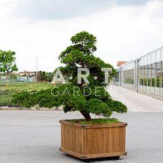1000 images about arbres nuage japonais bonsai geant on pinterest zen art taxus baccata. Black Bedroom Furniture Sets. Home Design Ideas