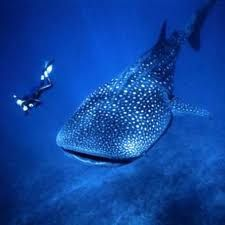 Whaleshark diving in Koh Tao, Thailand.
