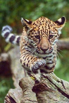 Leopard cub balancing on a log