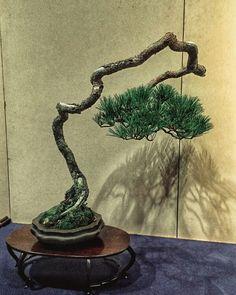 Bunjin - Pinus Densiflora