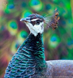 took this stunning shot of a peacock during her internship with us. Peacocks use their beautiful plumage to attract a mate. Peacocks, Attraction, Shots, Wildlife, Africa, Bird, Nature, Animals, Beautiful