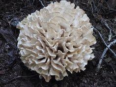 Eastern Cauliflower Mushroom Sparassis crispa  - found and eaten yesterday!