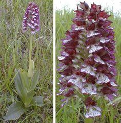 Orchis purpurea. (Orchidée pourpre), plante entière et inflorescence.