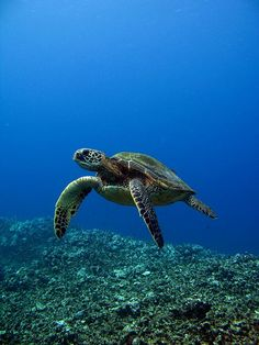 turtle and the blue