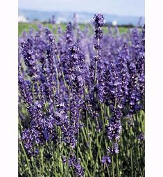 Lavender Mounding evergreen shrub with silvery-gray needlelike leaves and spikes of erect, lavender-purple or white flowers in summer; grows 2 to 3 feet tall; prefers full sun, well-drained soil; hardy to -10 degrees or -20 degrees F; USDA Hardiness Zones 5 to 8. Drought resistant.