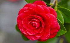 Red Camellia Flowers Japanese Meaning