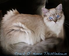 Looks like our cat.    Ragdoll Cats And Kittens, Colorado, Colorado Ragdoll Cats - Click for More...