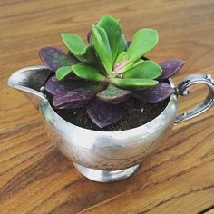 Charming purple and green leaves on this Anacampseros succulent. Anacampseros is a botanical name and it was believed this plant could be used to restore lost love. I  planted this cutie in a vintage silver creamer for extra charm. The more light it gets, the more vivid the colors are! #succulents #succulent #homedecor #houseplant #succulentlife #succulentlove #succulove #plant #indoorgarden #succulentsofinstagram #plants #gardening #decor #cbus #614
