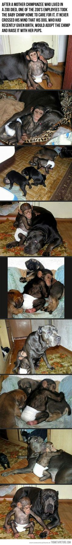 After a mother chimpanzee who lived in a zoo died, one of the zoo's employees took the baby chimp home to care for it. It never crossed his mind that his dog, who had recently given birth, would adopt the chimp and raise it with her pups. Awe..