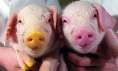 genetic-modified-piglets--006.jpg 460×276 pixels