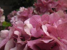 hortensia in de achtertuin (4) Rose, Flowers, Plants, Floral, Roses, Plant, Royal Icing Flowers, Florals, Flower
