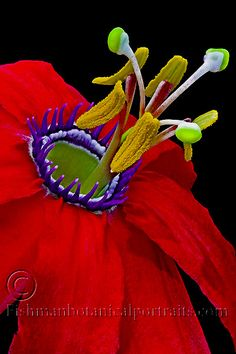 Fine Art Botanical Photography - David H. Fishman Belle Plante, Royal Red, Garden Show, Passion Flower, Garden Plants, Color Inspiration, Seattle, Porn, David