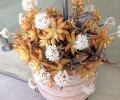 Sedum Nussbaumerianum also known as Sedum Adolphii - Flowering