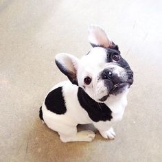 """Hi, my name is Spot, 'cause a my Nose"", Cute French Bulldog Puppy."