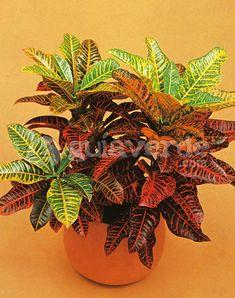 Codiaeum variegatum 'Bravo' - Croton variegado 'Bravo' Tropical Garden, Tropical Plants, All Flowers, My Flower, Red Leaves, Foliage Plants, Houseplants, Plant Hanger, Planting Flowers