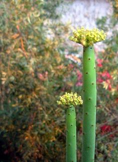 Euphorbia leucadendron (Cat Tails Euphorbia) its beautiful for your home